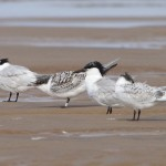 Sandwich Terns, Findhorn 30 Jul 2015 (Richard Somers Cocks)