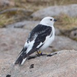 Snow Bunting Ben Macdui 19 May 2014 Robert Ince