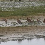Black tailed Godwits Spey estuary 13 Jul 2018 Martin Cook