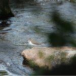 Common Sandpiper River Findhorn near Forres 8 Jul 2018 Allan Lawrence