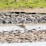 Iceland Gull Lossie estuary 15 Jul 2018 Henry Farquhar