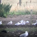 Mediterranean Gull Balormie 28 Jul 2018 Bob Proctor