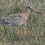 Black tailed Godwit Findhorn Bay 21 Aug 2018 Mike Crutch