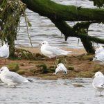 Mediterranean Gull Spey estuary 27 Aug 2018 Martin Cook