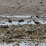 Pacific Golden Plover Findhorn Bay 5 Aug 2018 Martin Cook