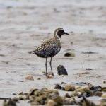 Pacific Golden Plover Findhorn Bay 5 Aug 2018 Richard Somers Cocks 1