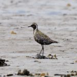 Pacific Golden Plover Findhorn Bay 5 Aug 2018 Richard Somers Cocks 2