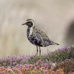 Pacific Golden Plover Findhorn dunes 14 Aug 2018 Richard Somers Cocks 1