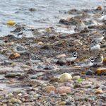 Sanderling Portgordon 21 Aug 2018 Gordon Biggs 1