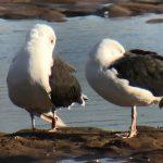 GBB Gull Lossie estuary 19 Sept 2019 Bob Proctor