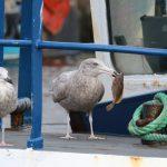 Glaucous Gull Burghead 28 Sept 2018 Martin Cook 2
