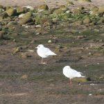 Mediterranean Gull Spey estuary 25 Sept 2018 Martin Cook 2