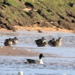 Pintail Lossie estuary 21 Sept 2018 George McCrae