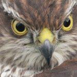 Sparrowhawk Clochan 23 Aug 2018 Martin Cook