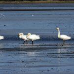 Whooper Swans Findhorn Bay 21 Sept 2018 Gordon McMullins