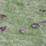 Fieldfares Refouble 21 Oct 2018 Richard Somers Cocks