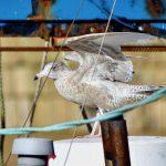 Glaucous Gull Burghead 5 Oct 2018 Gordon Biggs 2