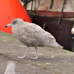 Glaucous Gull Burghead 7 Oct 2018 Graham Larrington 1