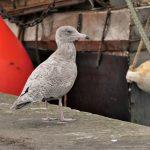 Glaucous Gull Burghead 7 Oct 2018 Graham Larrington 2