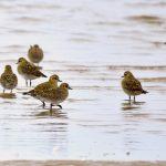 Golden Plover Findhorn Bay 8 Oct 2018 Gordon Biggs 3