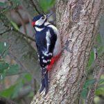 Great Spotted Woodpecker Loch Spynie 19 Oct 2018 Jack Harrison