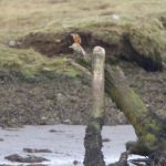 Kingfisher Findhorn Bay 31 Oct 2018 Richard Somers Cocks