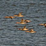 Red breasted Mergansers Findhorn 17 Oct 2018 Jack Harrison