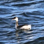 Slavonian Grebe Lossiemouth 21 Oct 2018 George McCrae