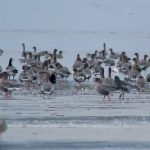 Snow Goose Findhorn Bay 3 Oct 2018 Richard Somers Cocks