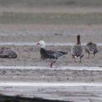 Snow Goose Findhorn Bay 7 Oct 2018 Richard Somers Cocks 1