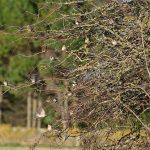 Tree Sparrows Dyke 29 Oct 2018 David Shaw