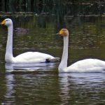 Whooper Swans Loch Oire 19 Oct 2018 Jack Harrison