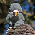Woodpigeon Findhorn 17 Oct 2018 Jack Harrison