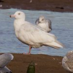 Glaucous Gull A Lossie estuary 2 Nov 2018 Richard Somers Cocks