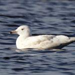 Glaucous Gull Loch Spynie 2 Nov 2018 Richard Somers Cocks