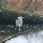 Grey Heron Tugnet 24 Nov 2018 Martin Cook