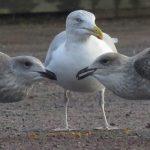 Herring Gull Nairn 19 Nov 2018 Jack Harrison