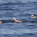 Long tailed Ducks Burghead Bay 18 Nov 2018 Richard Somers Cocks