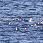 Long tailed Ducks Burghead Bay 8 Nov 2018 Richard Somers Cocks