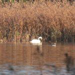 Red necked Grebe Loch Spynie 26 Nov 2018 Martin Cook 2