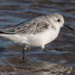 Sanderling Covesea 2 Nov 2018 Mike Crutch 1