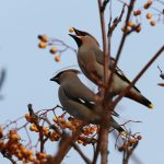 Waxwings Fochabers 24 Nov 2018 Martin Cook