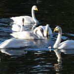 Whooper Swans Loch Oire 16 Nov 2018 Martin Cook