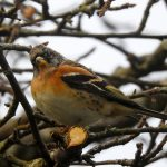 Brambling Forres 2 December 2018 Alison Ritchie 1