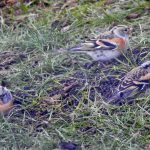 Brambling Forres 2 December 2018 Alison Ritchie 2