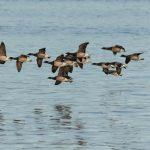 Brent Goose Nairn harbour 21 Dec 2018 Colin Leslie 1