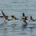Brent Goose Nairn harbour 21 Dec 2018 Colin Leslie 2
