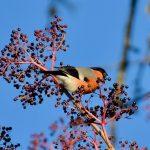Bullfinch Rafford 4 December 2018 Gordon Biggs