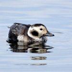 Long tailed Duck Loch Spynie 23 Dec 2018 Henry Farquhar