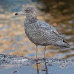 Viking Gull Burghead 16 Dec 2018 Colin Leslie